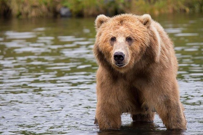 Бурый медведь на Камчатке - туры и экскурсии на Камчатку
