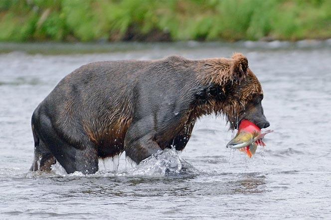 Камчатский Медведь на рыбалке - туры и экскурсии на Камчатку