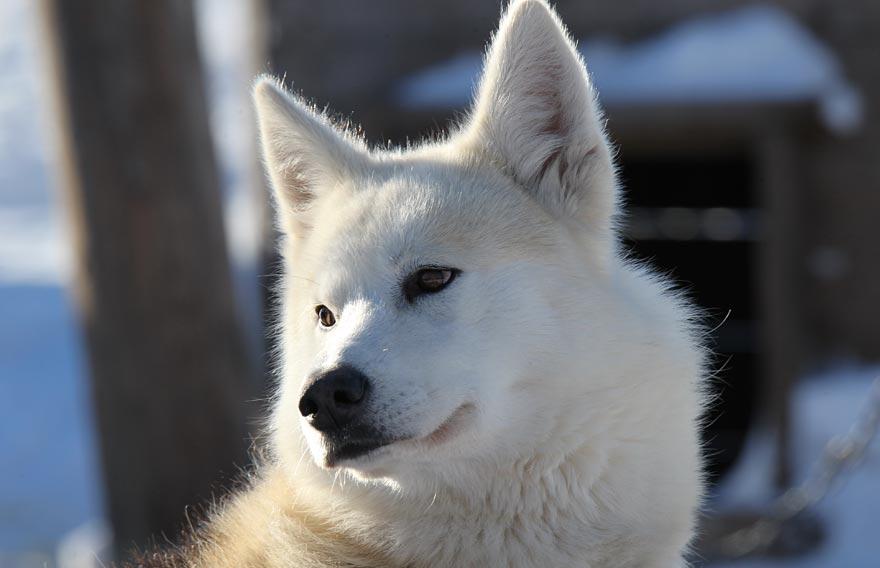 Корякское стойбище «Эйвэт» и питомника ездовых собак на Камчатке - туры и экскурсии на Камчатке