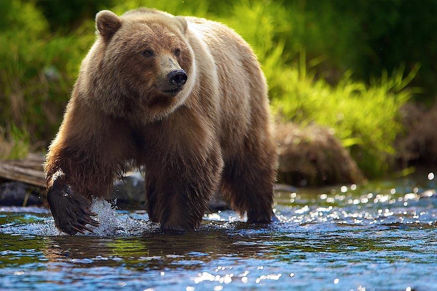 Правила поведения при встрече с медведем на Камчатке - туры и экскурсии на Камчатке