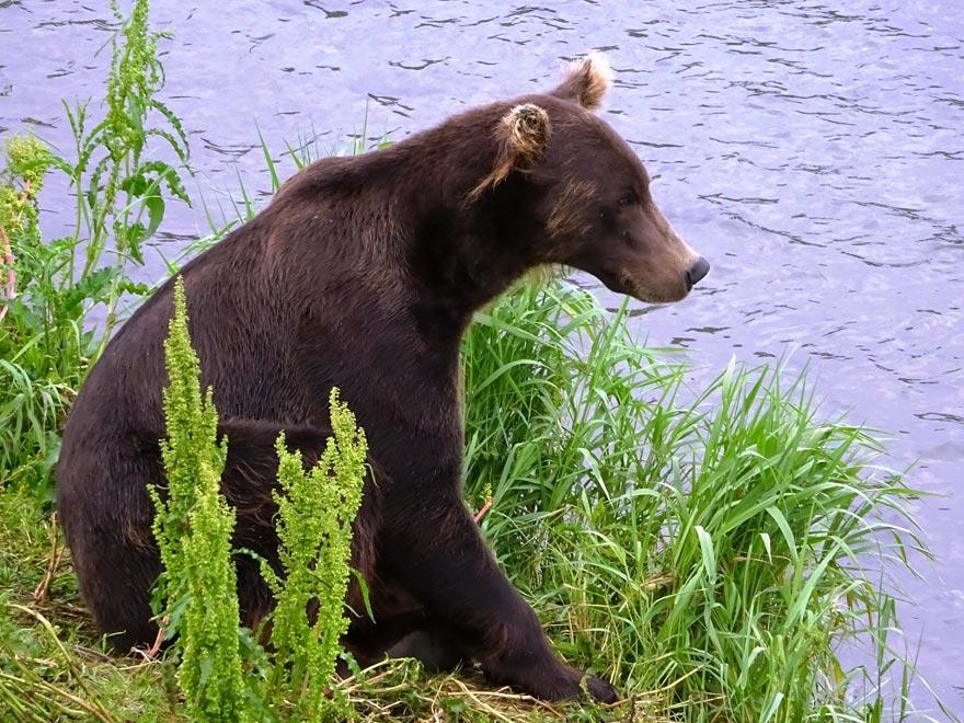 Медведи - озеро Курильское - ловят рыбу - туры и экскурсии на Камчатке