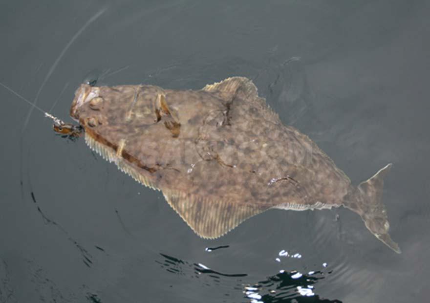 Палтус - морская рыбака на Камчатке - тур и экскурсии на Камчатке