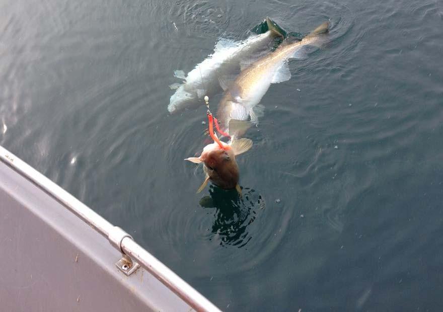 Терпуг - Морская рыбалка на Камчатке - Туры и экскурсии на Камчатке