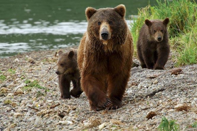 Медведица и медвежата - туры и экскурсии на Камчатку